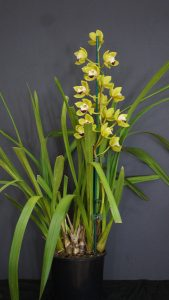 Best Cymbidium Intermediate Winter 2017